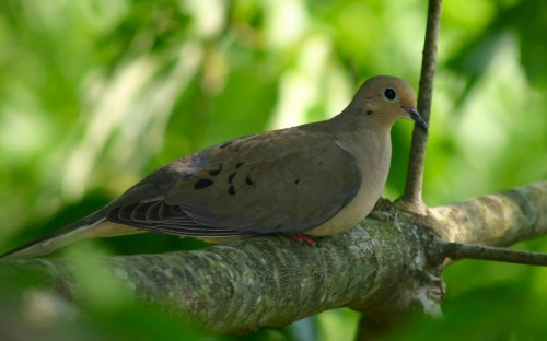 Birds Commonly Spotted in San Diego Yards: Doves