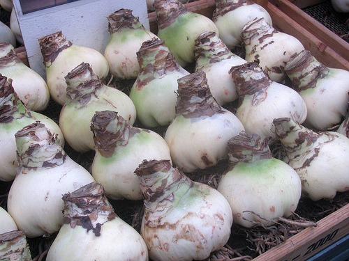 amaryllis bulbs