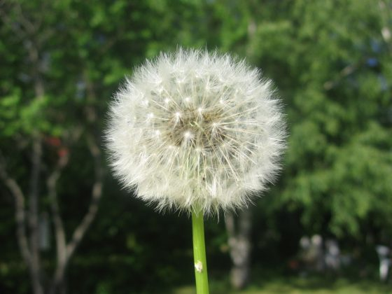 Landscape Ideas for Allergy Sufferers: Dandelion