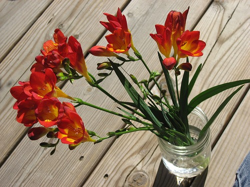 growing freesias indoors