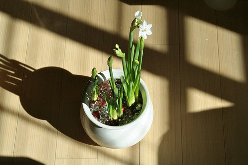 growing paperwhites in a container