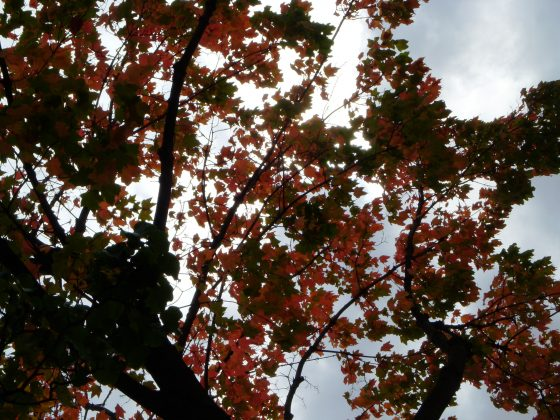 Male trees more often trigger allergies.