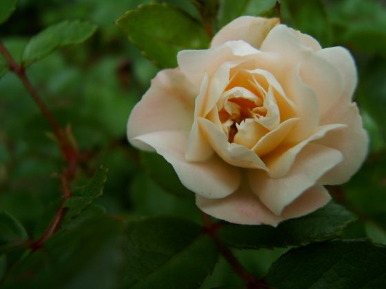 Landscape Ideas for Allergy Sufferers: Rose