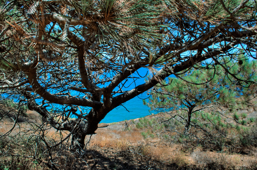torrey pine trees guide