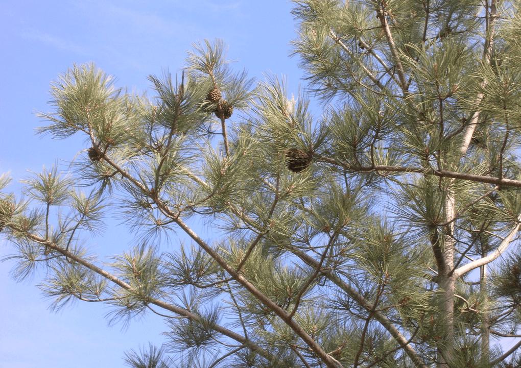 torrey pine trees