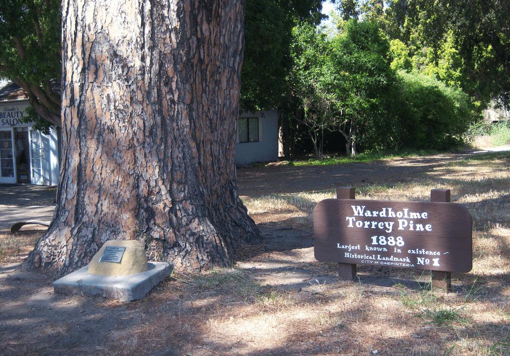 wardholme torrey pine