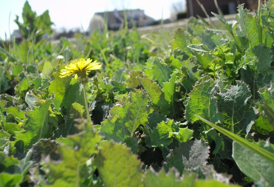 Weeds are the enemy of allergy sufferers.