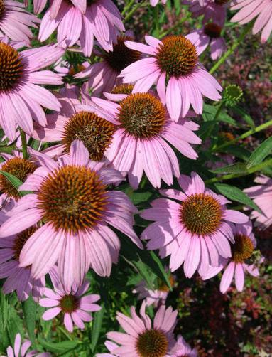 Echinacea herbal remedy