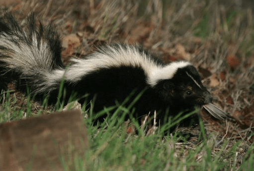 how to keep skunks from digging under shed