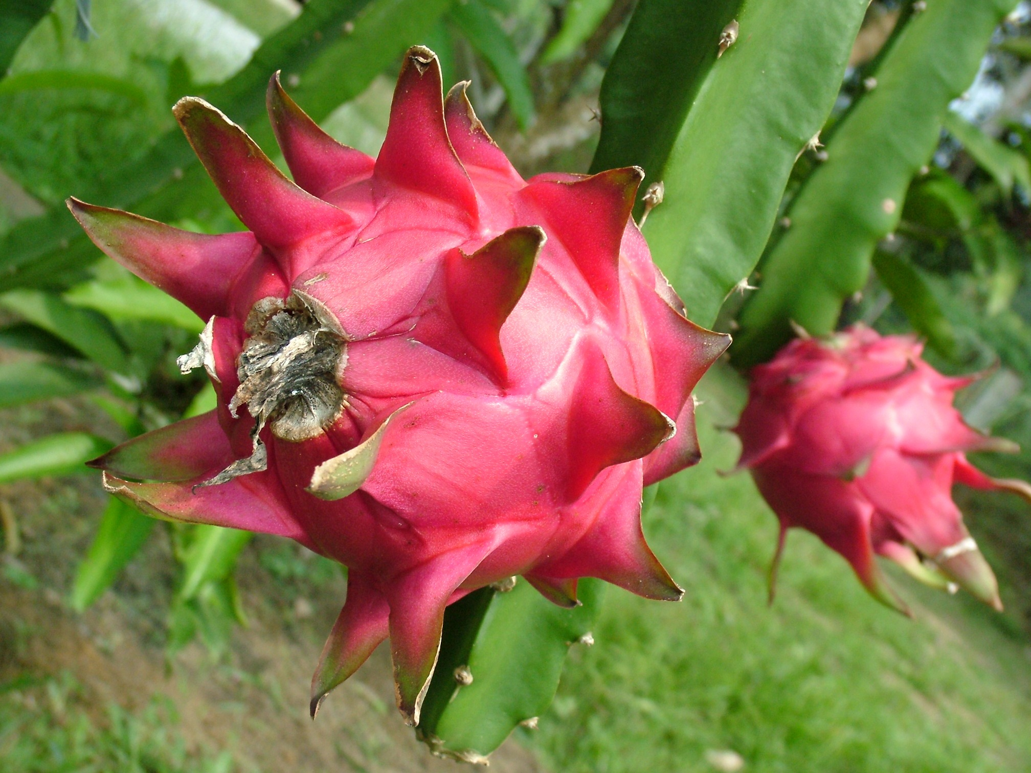 Dragon Fruit On Cactus