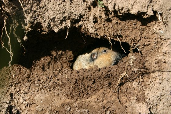 How to get rid of gophers in your backyard