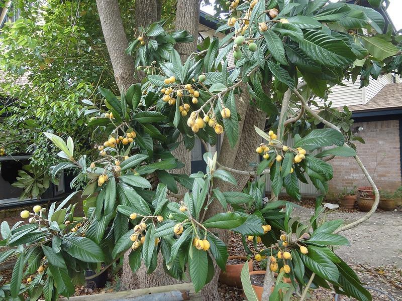 pruning fruit trees exotic fruit