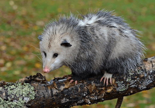 Opossums in San Diego