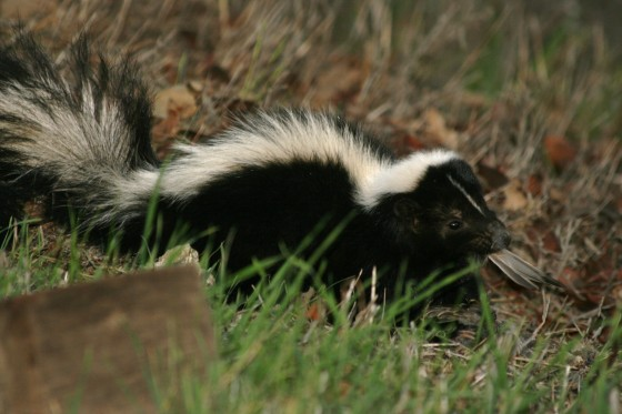 outdoor wildlife: skunk