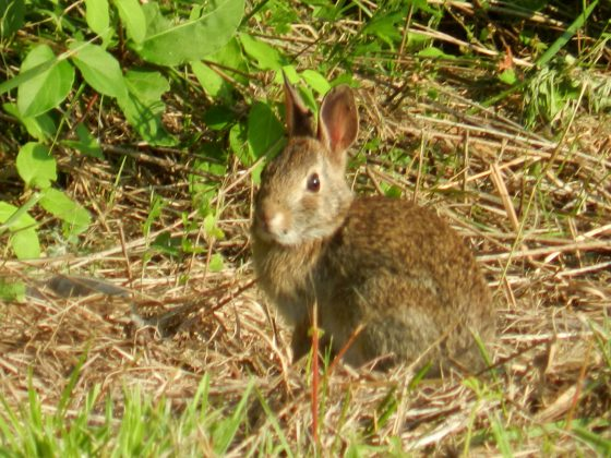 Wild Rabbit in your backyard