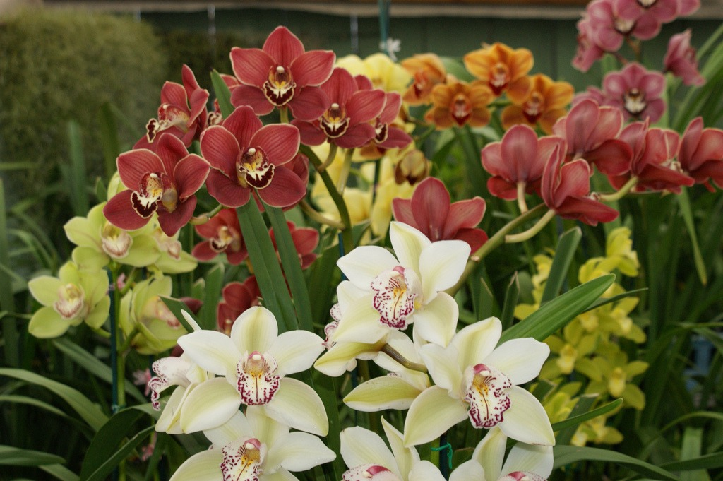 Pink Orchids additionally Cymbidium Orchid Care And Growing Tips For San Diego besides Cymbidium Orchid Care And Growing Tips For San Diego besides White Lily Plants besides Bamboo Farming The Seven Things You Need To Know. on growing orchids outside