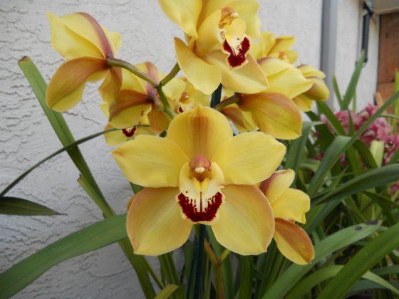 cymbidium orchids colors