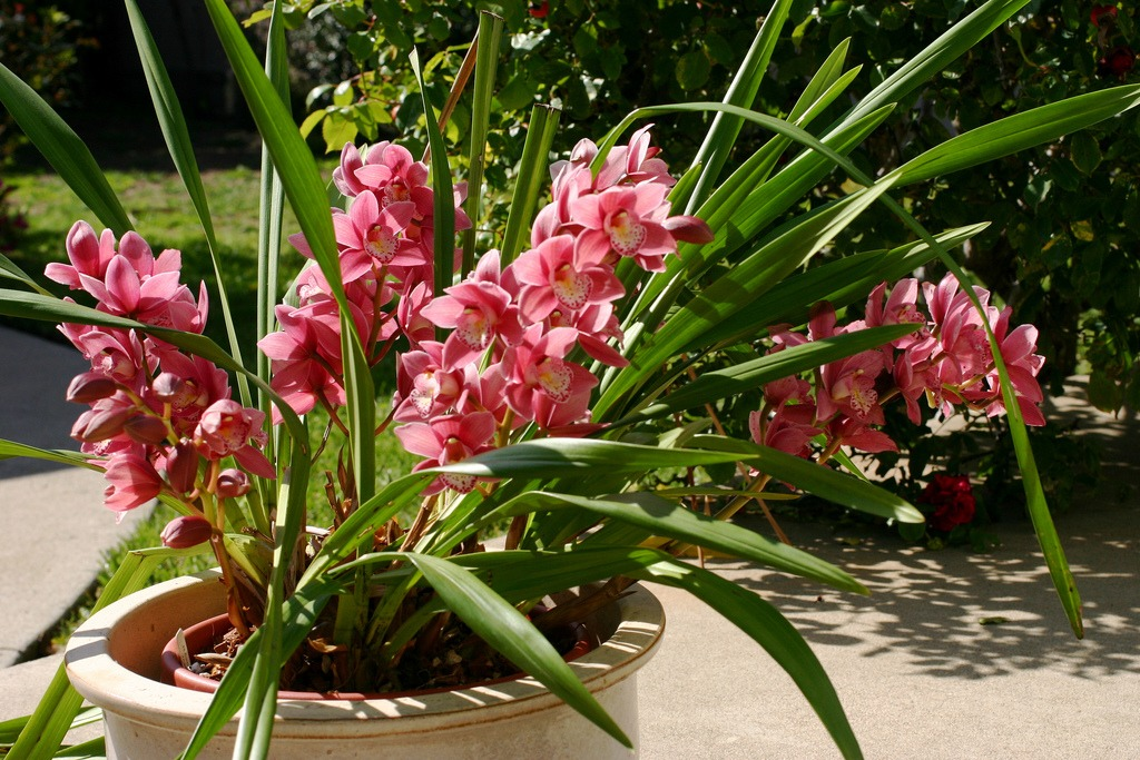 outdoor orchids