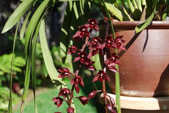 pendulous cymbidium orchids
