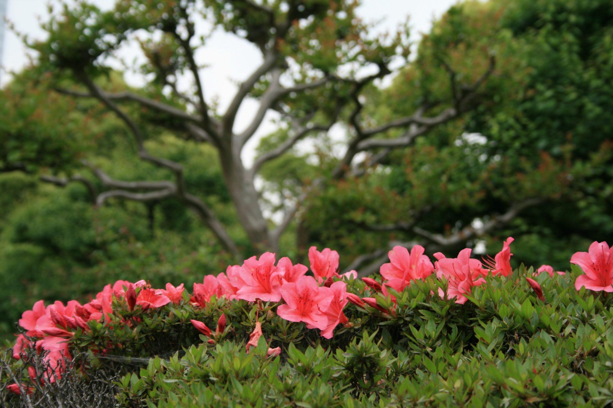 azalea toxic to dogs and cats