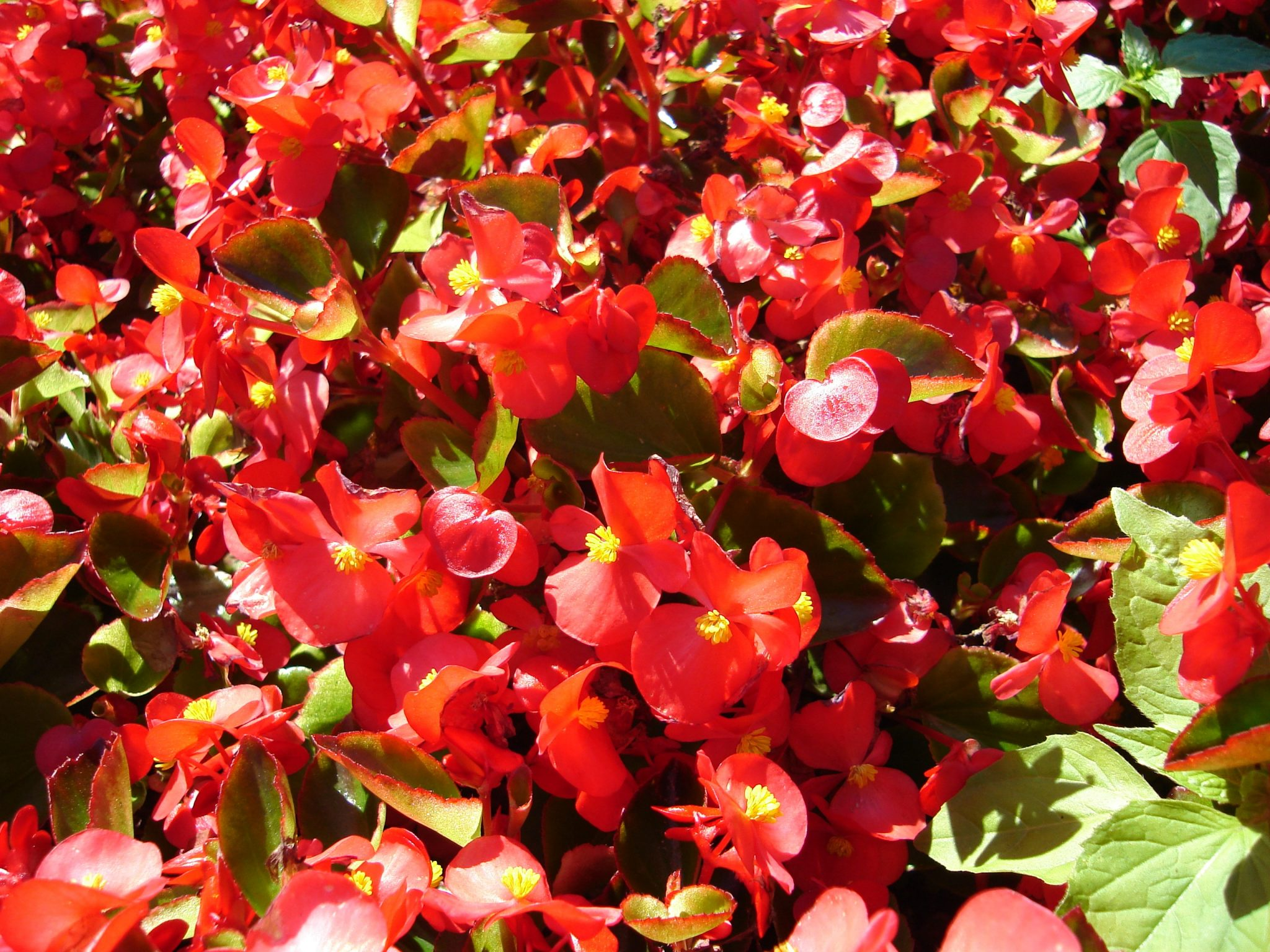 is begonia poisonous for dogs and cats