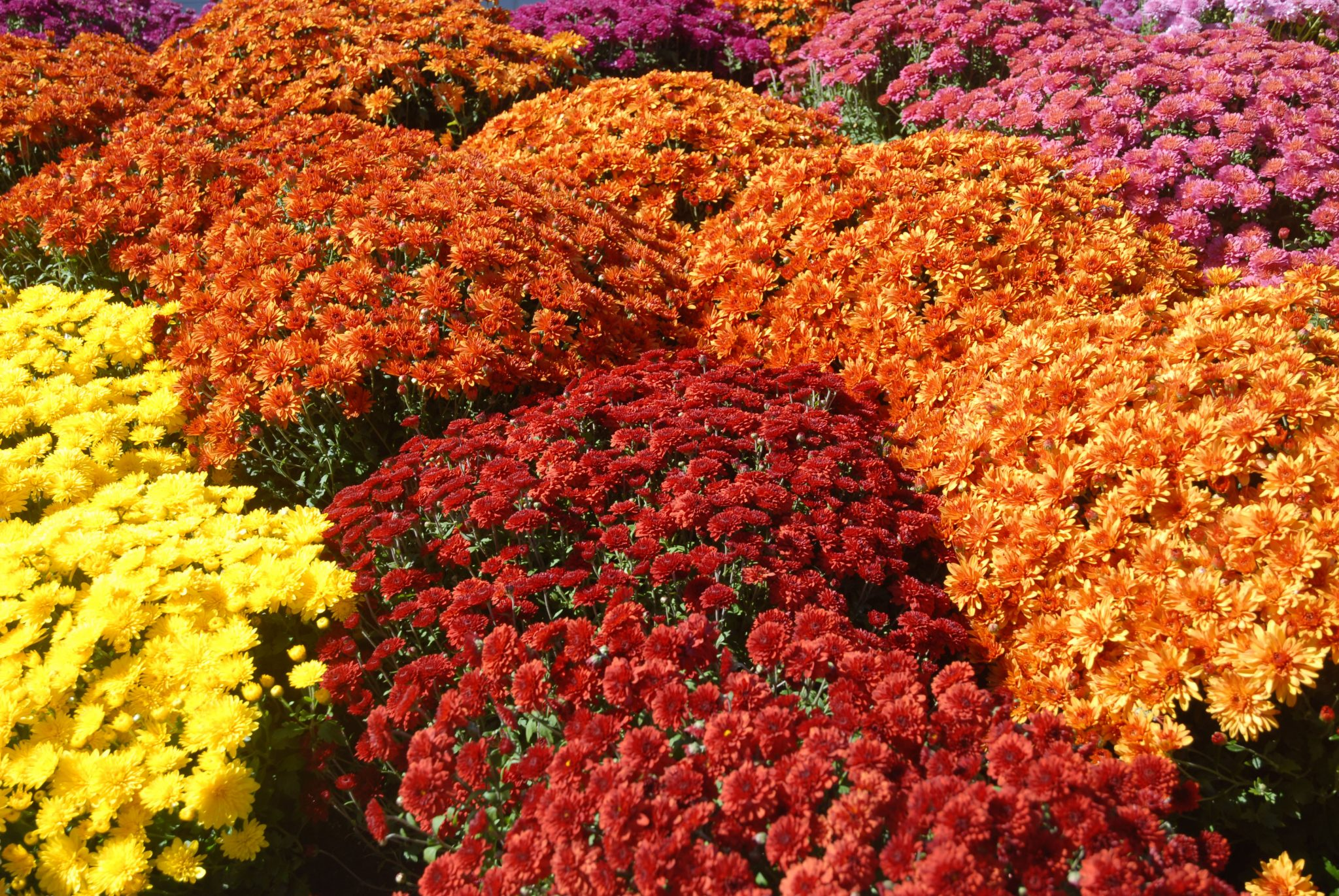 chrysanthemum poisonous to dogs cats