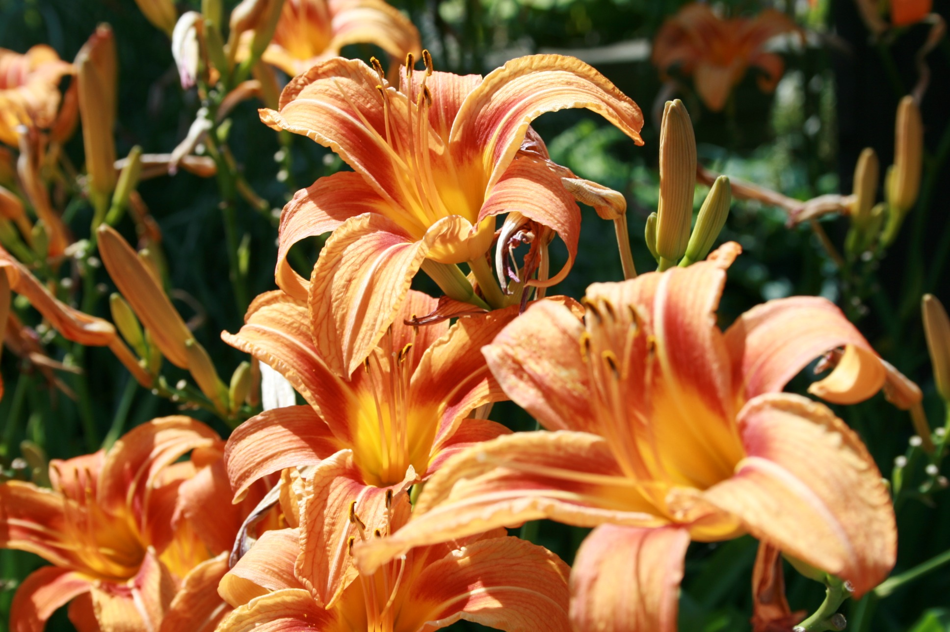 lilies are toxic to pets