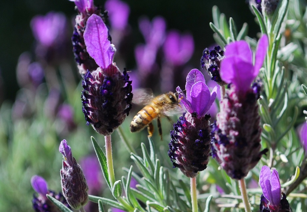 Radiant Orchid spanish lavender