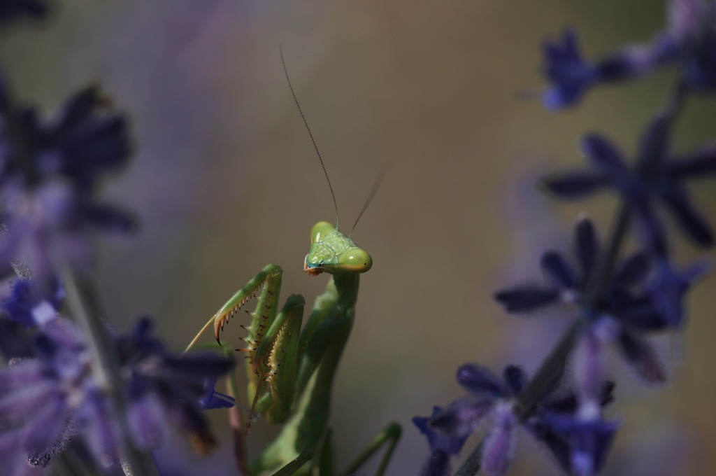 beneficial insects: praying mantis in san diego
