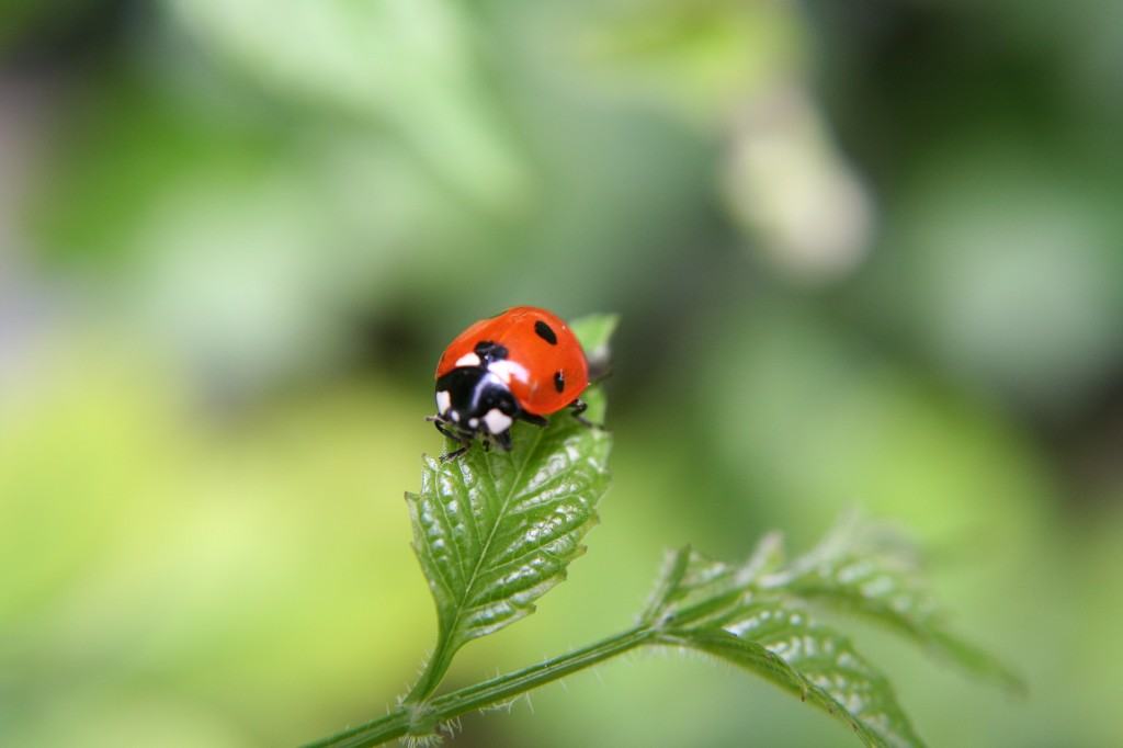 beneficial ladybugs in the garden