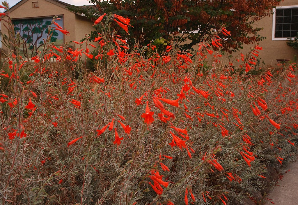 fire safe plants california fuchsia