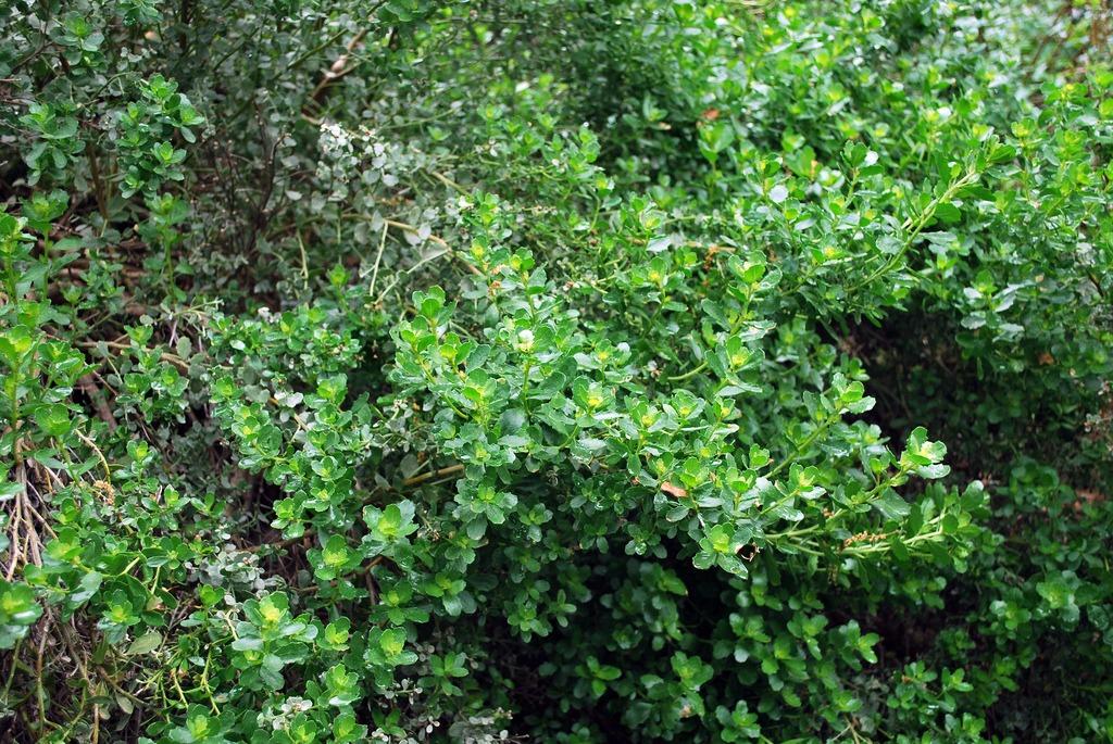 fire safe plants coyote bush