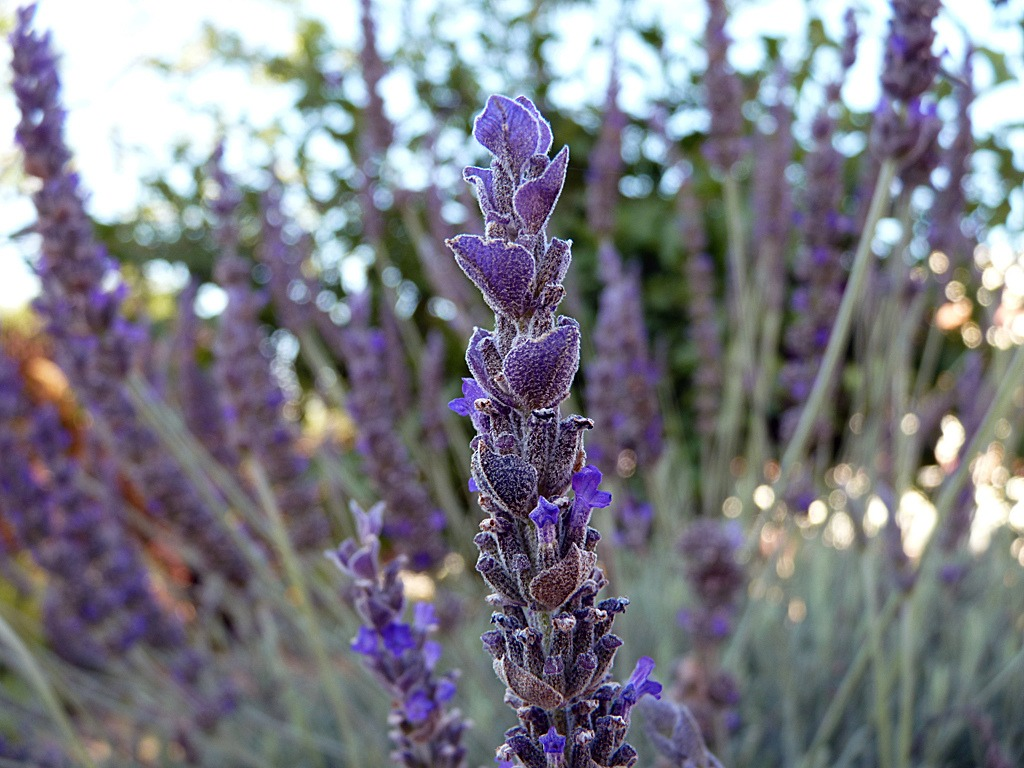fire safe plants french lavender