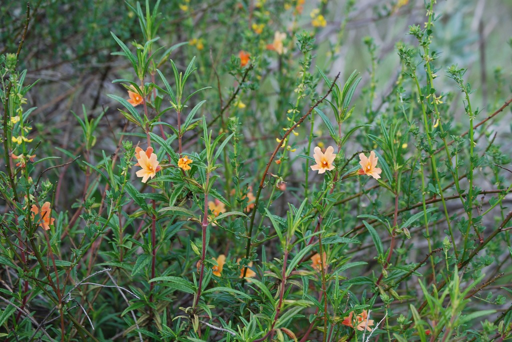 fire safe plants monkeyflower
