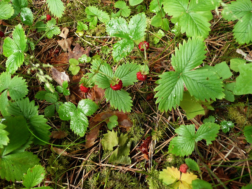 fire safe plants wild strawberry