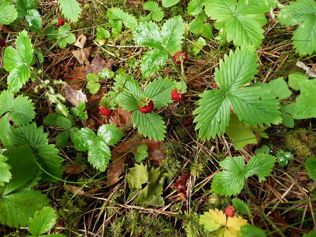 fire safe plants wild strawberry