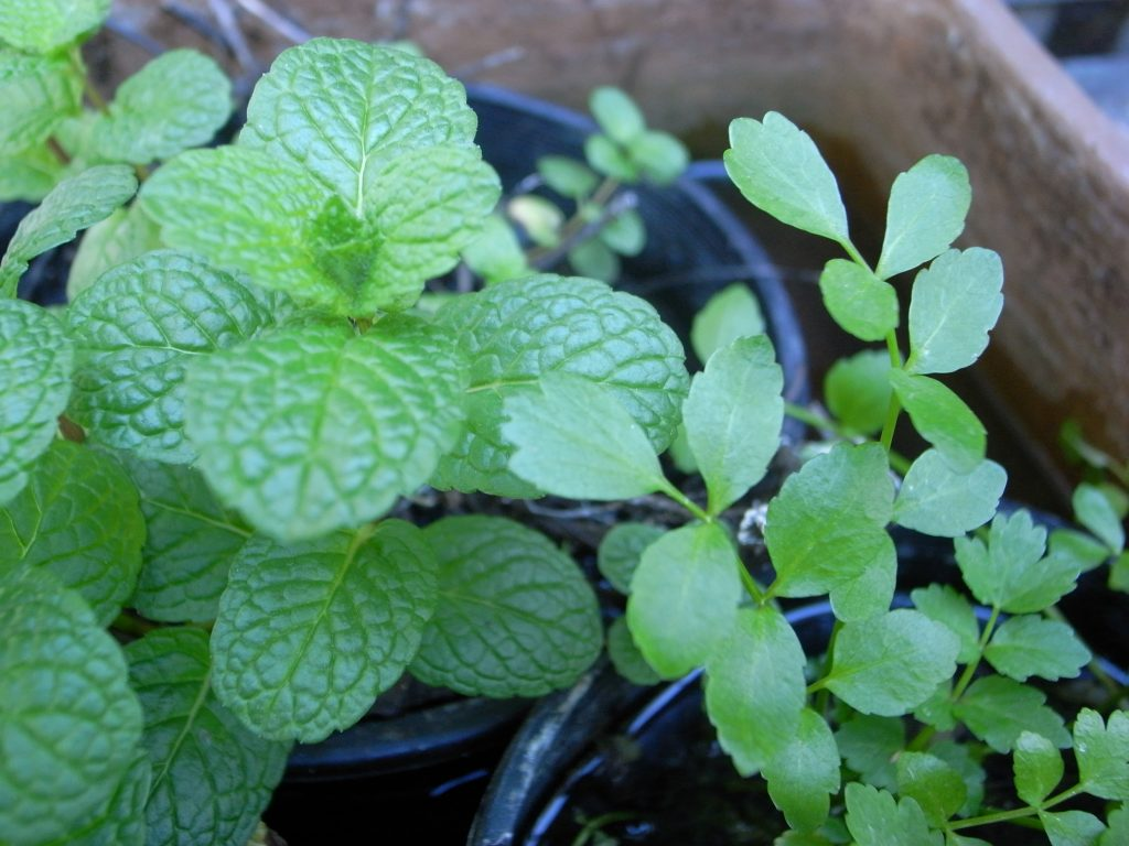 Mint and Cress Growing in Pots