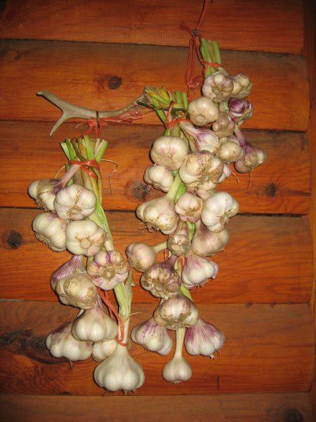 DIY garlic in your yard