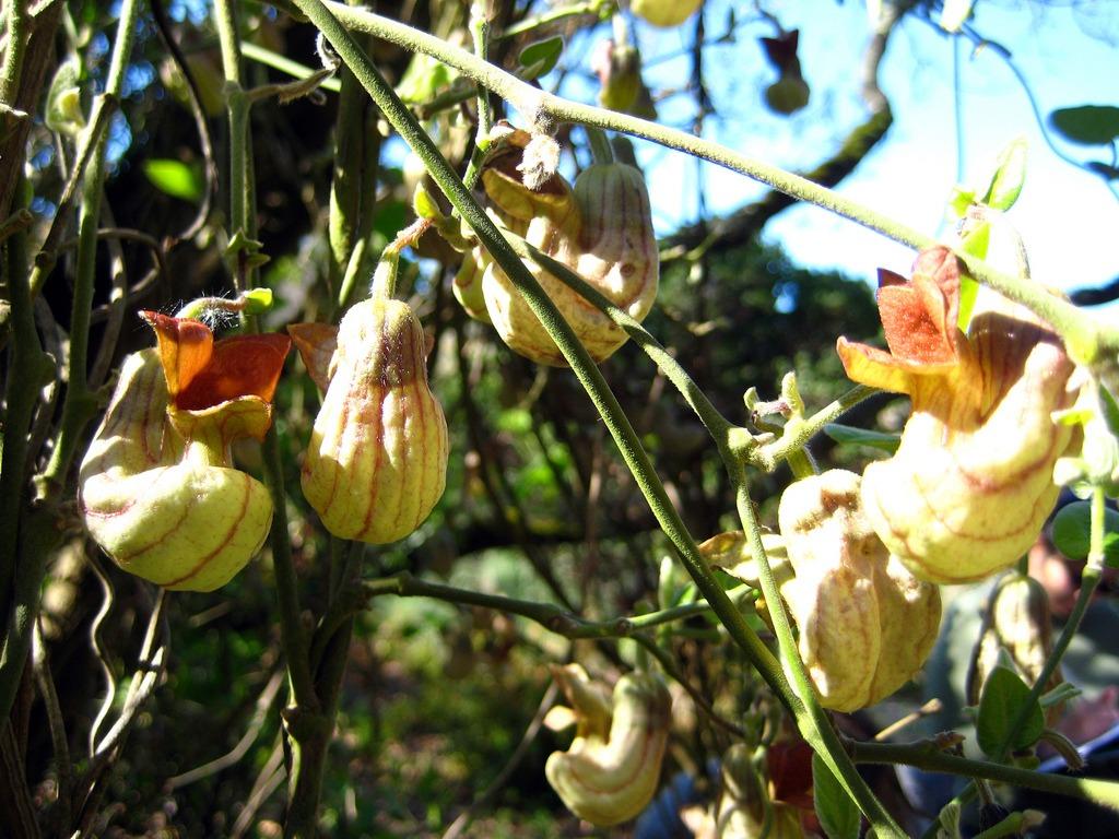 Aristolochia californica