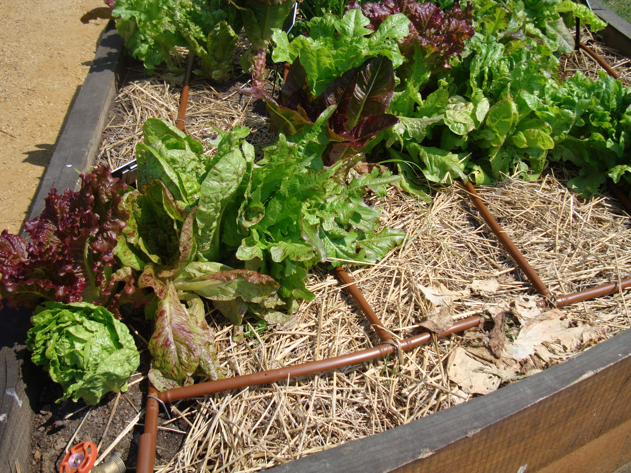 drip tubing in vegetable garden