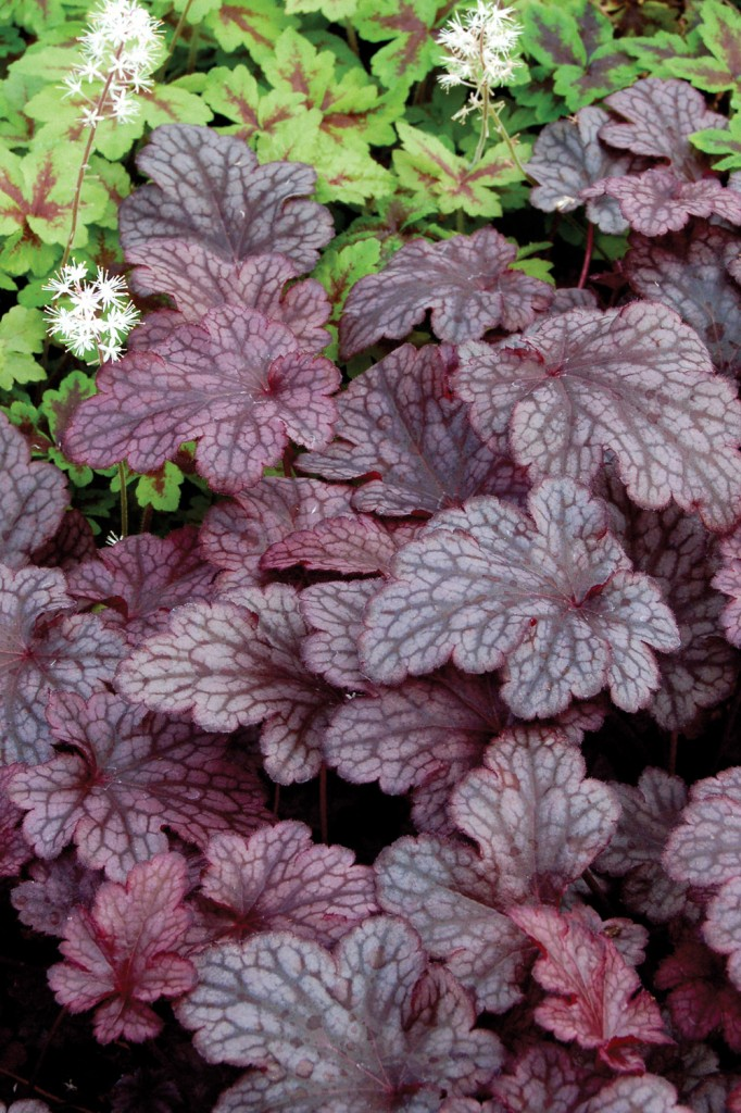 Easy care plants in San Diego heuchera plum
