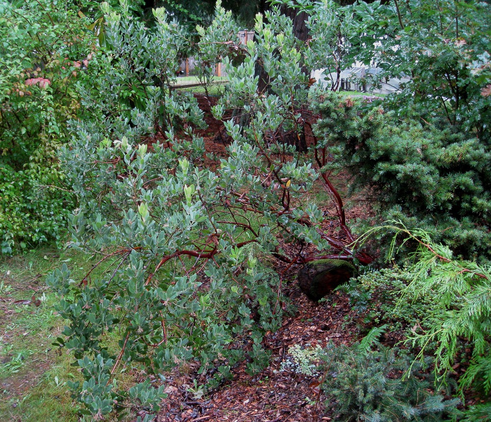 Easy care plants in San Diego manzanita
