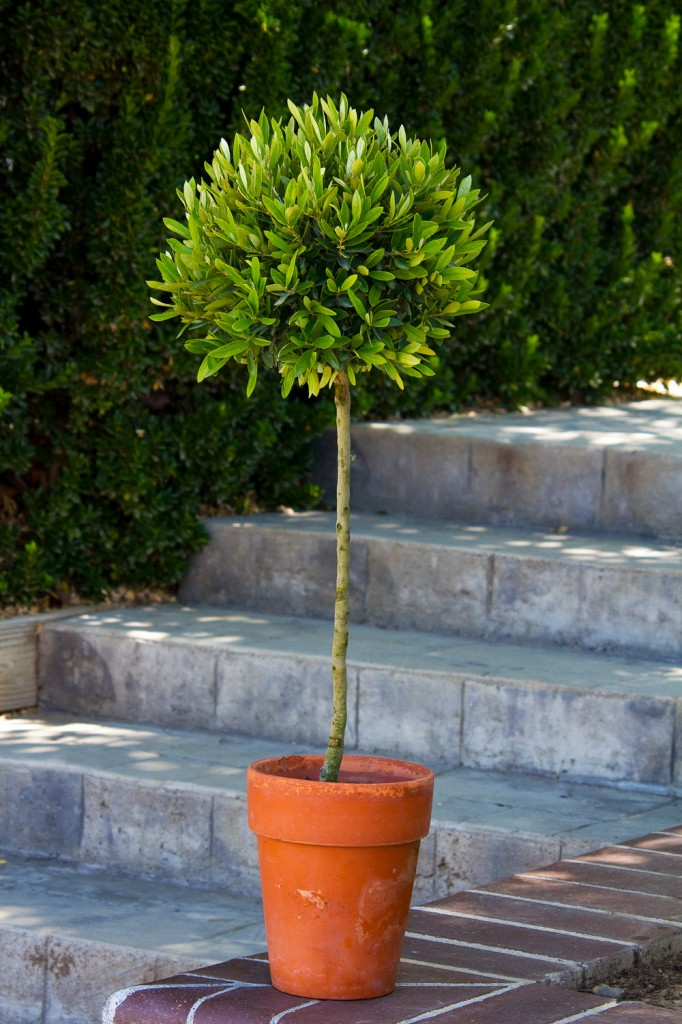 Easy care plants in San Diego olive