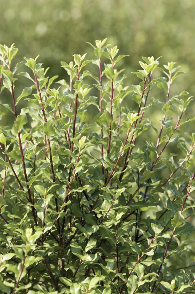 Easy care plants in San Diego pittosporum