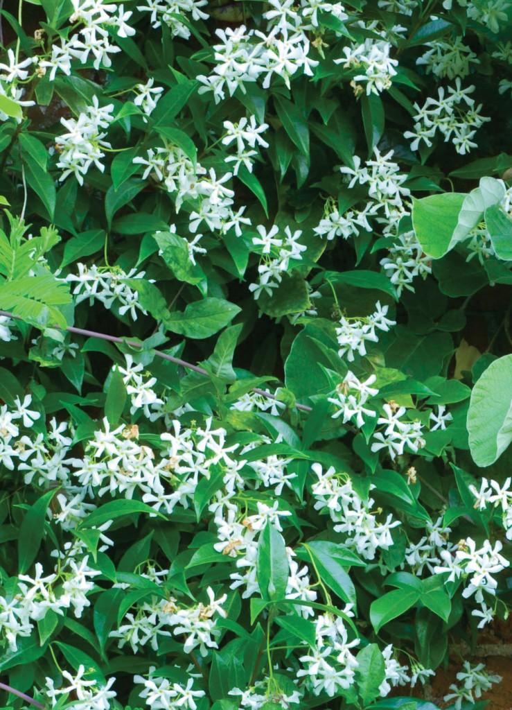 Easy care plants in San Diego star jasmine