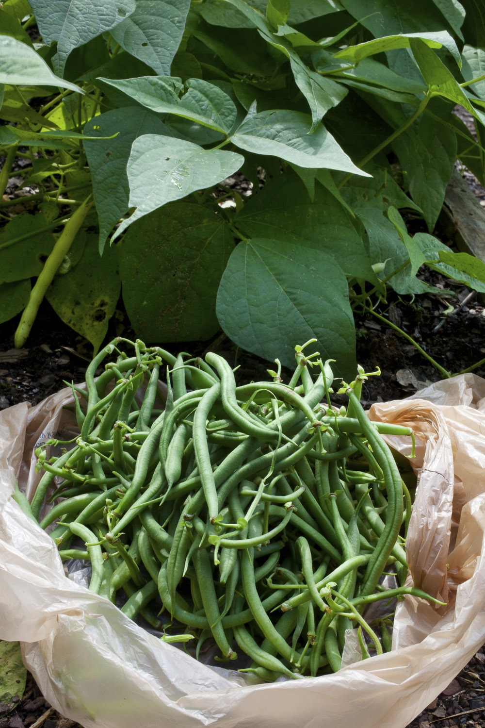 vegetables to grow in san diego green beans