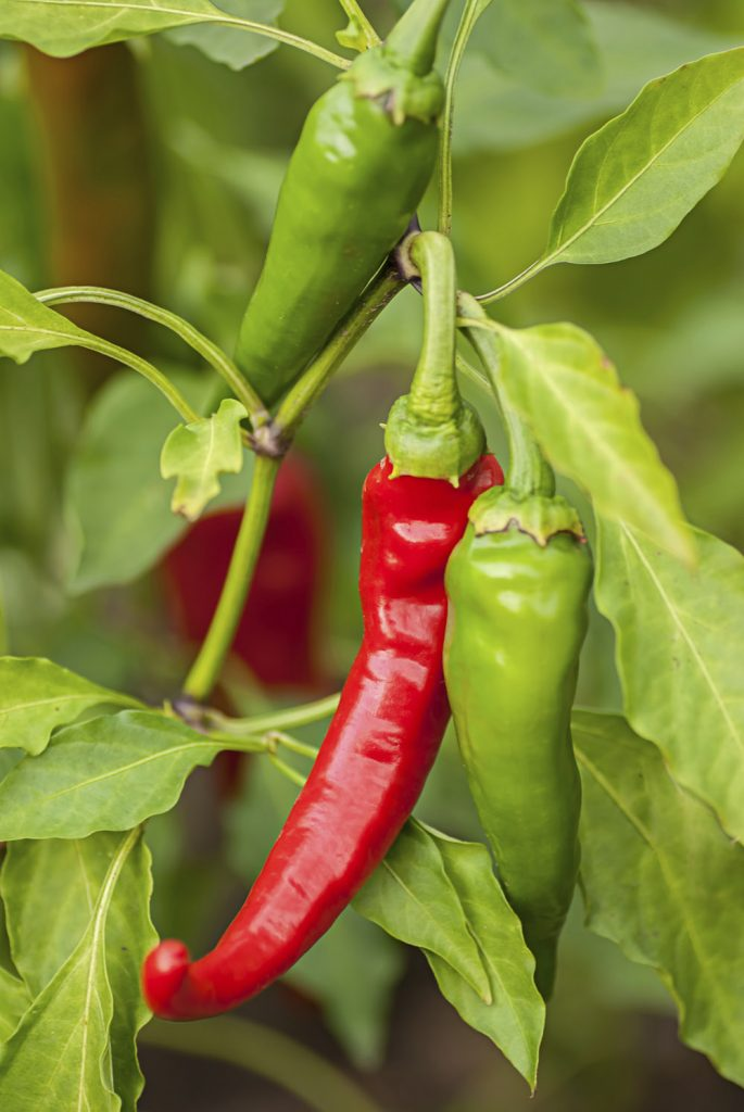 vegetables to grow in san diego hot peppers