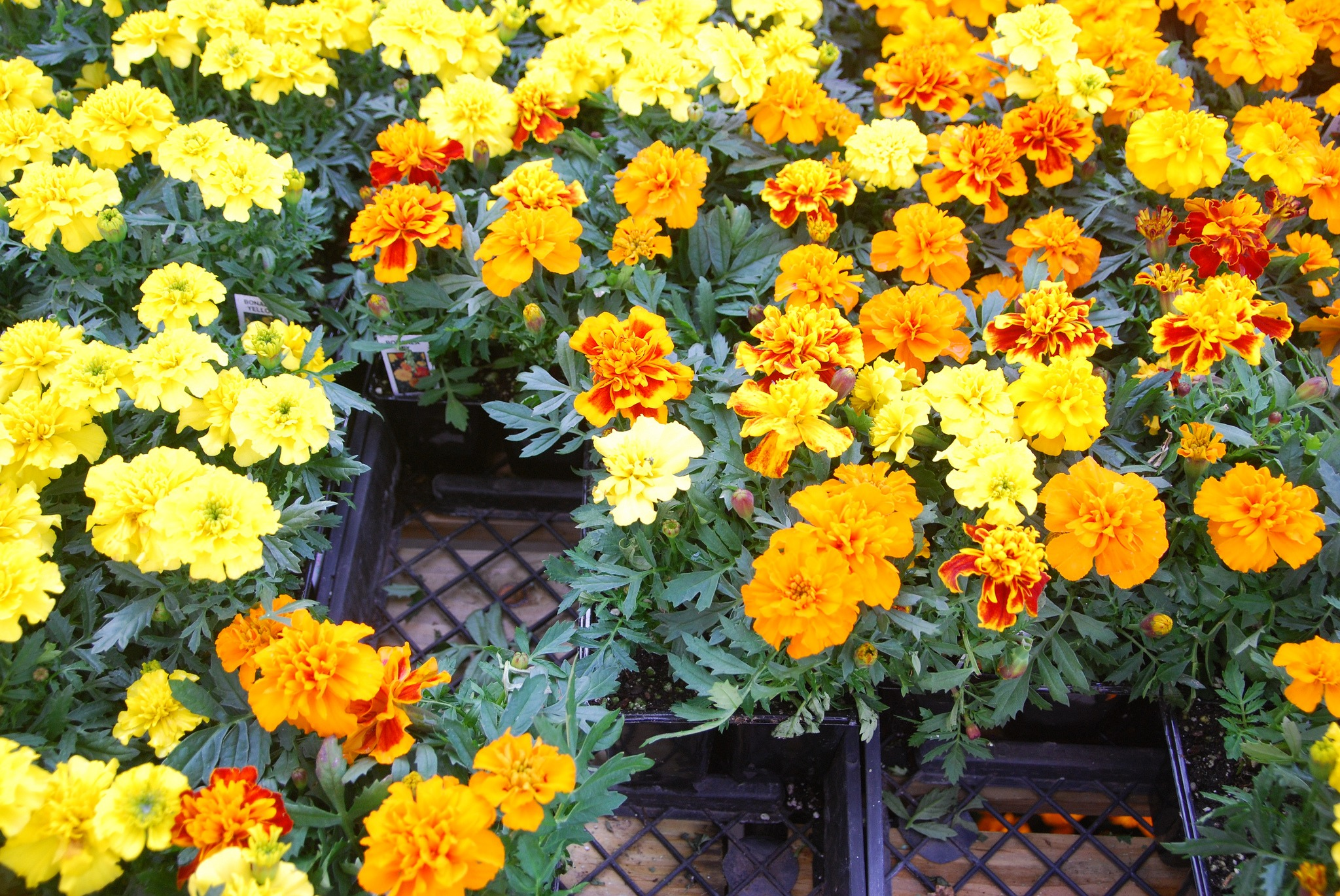 Grow marigolds as annuals