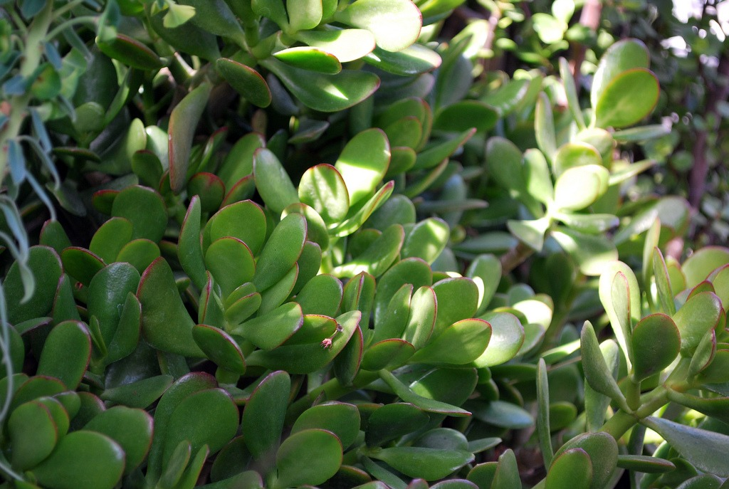 how to grow a jade plant from a leaf