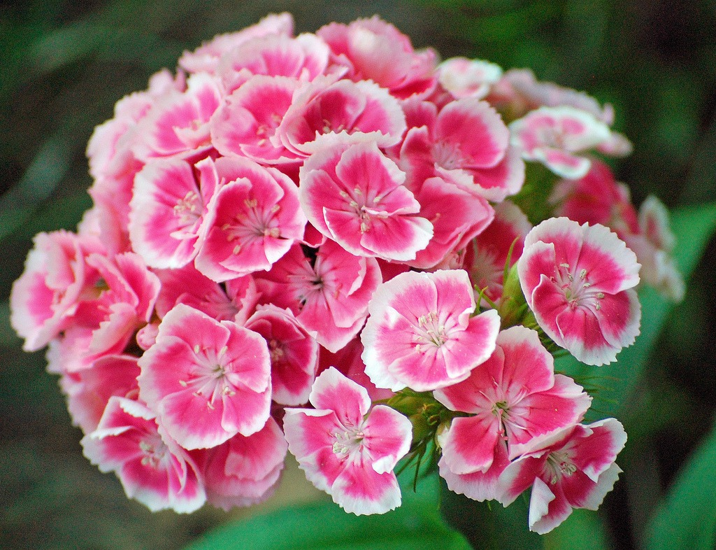 sweet william biennial